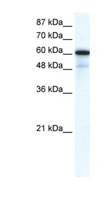 GABRA1 antibody Western blot of HepG2 cell lysate. This image was taken for the unconjugated form of this product. Other forms have not been tested.