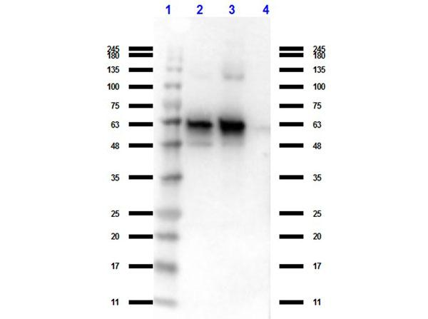 GDF15 Antibody - Western Blot of Rat Anti-Nag 1 (C terminal specific). Lane 1: Protein Standard Opal Pre-stained  Lane 2: MBP-NAG-1 fusion protein 1. Lane 3: MBP-NAG-1 fusion protein 2. Lane 4: MBP. Load 40ng. Primary Antibody: Rat anti-Nag 1 (C terminal specific) at 1 µg/mL for overnight at 4°C. Secondary Antibody: Rat IgG (H&L) Antibody Peroxidase Conjugated Pre-Adsorbed at 1:40,000 dilution at RT for 30 minutes.