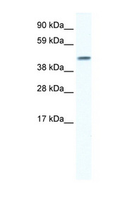 GJA5 / CX40 / Connexin 40 Antibody - GJA5 / Connexin 40 antibody Western blot of Fetal lung lysate. This image was taken for the unconjugated form of this product. Other forms have not been tested.