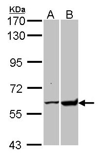 Sample (30 ug of whole cell lysate). A: H1299. B: Raji. 7.5% SDS PAGE. GPI antibody diluted at 1:10000.
