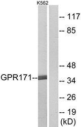 Western blot analysis of lysates from K562 cells, using GPR171 Antibody. The lane on the right is blocked with the synthesized peptide.