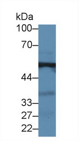GPT / Alanine Transaminase Antibody - Western Blot; Sample: Mouse Kidney lysate; ;Primary Ab: 2µg/ml Rabbit Anti-Human ALT Antibody;Second Ab: 0.2µg/mL HRP-Linked Caprine Anti-Rabbit IgG Polyclonal Antibody;(Catalog: SAA544Rb19
