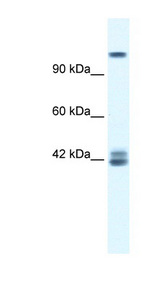 GRIN2C / NMDAR2C antibody Western blot of Jurkat lysate. This image was taken for the unconjugated form of this product. Other forms have not been tested.