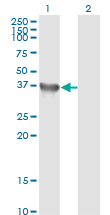 Western blot of GYG1 expression in transfected 293T cell line by GYG1 monoclonal antibody clone 3B5.
