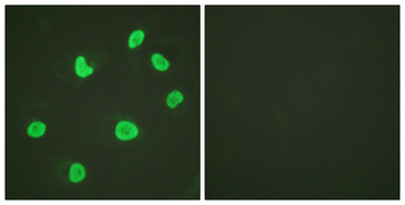 Histone H3 Antibody - Immunofluorescence analysis of HeLa cells, using Histone H3 Antibody. The picture on the right is blocked with the synthesized peptide.