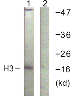 Histone H3 Antibody - Western blot analysis of lysates from HeLa cells, treated with TSA 400nM 24h, using Histone H3 Antibody. The lane on the right is blocked with the synthesized peptide.