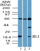 Histone H3.3 Antibody - Western blot of Histone H3.3 in 293 cell lysate in the 1) absence and2) presence of immunizing peptide and 3) NIH 3T3 cell lysate using Histone H3.3 Antibody at 0.25 ug/ml.