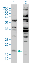 Histone H3.3 Antibody - Western blot of H3F3B expression in transfected 293T cell line by H3F3B monoclonal antibody (M01), clone 2D7-H1.