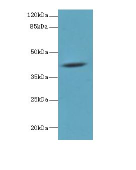 Western blot. All lanes: HM13 antibody at 6 ug/ml+ Mouse liver tissue Goat polyclonal to rabbit at 1:10000 dilution. Predicted band size: 41 kDa. Observed band size: 41 kDa.