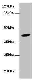 Western blot All lanes: HM13 antibody at 6µg/ml + Mouse liver tissue Secondary Goat polyclonal to rabbit IgG at 1/10000 dilution Predicted band size: 42, 47, 44, 37 kDa Observed band size: 42 kDa
