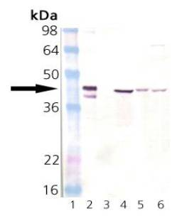 HSP40 Antibody - Western blot of Hsp40: Lane 1: MWM, Lane 2: SPP-400 (Hsp40 recombinant protein), Lane 3: SPP-640 (DnaJ recombinant protein), Lane 4: HeLa (heat shocked) cell lysate, Lane 5:3T3 (heat shocked) cell lysate, Lane 6: PC-12 cell lysate.