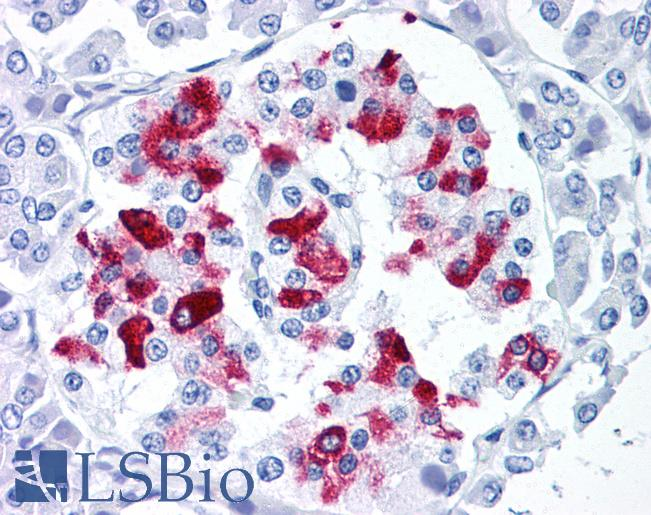 IAPP / Amylin Antibody - Anti-Amylin antibody IHC of human pancreas, islet of Langerhans. Immunohistochemistry of formalin-fixed, paraffin-embedded tissue after heat-induced antigen retrieval. Antibody concentration 5 ug/ml.