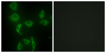 Immunofluorescence analysis of HepG2 cells, using IARS2 Antibody. The picture on the right is blocked with the synthesized peptide.