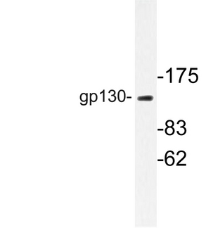 Western blot of gp130 (S778) pAb in extracts from Jurkat cells.