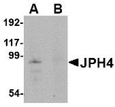 JPH4 Antibody - Western blot of JPH4 in mouse brain tissue lysate with JPH4 antibody at 1 ug/ml in (A) the absence and (B) the presence of blocking peptide.