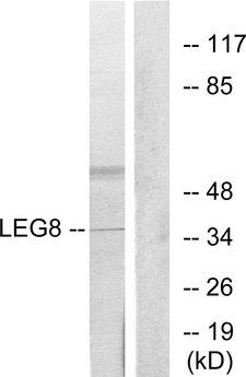 LGALS8 / Galectin 8 Antibody - Western blot analysis of lysates from NIH/3T3 cells, using LEG8 Antibody. The lane on the right is blocked with the synthesized peptide.