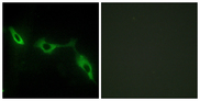 Immunofluorescence analysis of NIH/3T3 cells, using LEG9 Antibody. The picture on the right is blocked with the synthesized peptide.