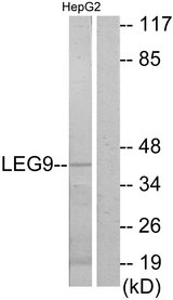 Western blot analysis of lysates from HepG2 cells, using LEG9 Antibody. The lane on the right is blocked with the synthesized peptide.