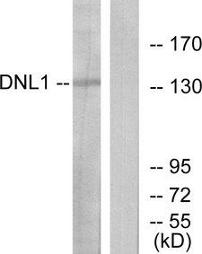 LIG1 / DNA Ligase 1 Antibody - Western blot analysis of lysates from HT-29 cells, using DNL1 Antibody. The lane on the right is blocked with the synthesized peptide.