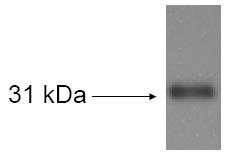 Detection of LOX in mouse tibia/fibula tissue extracts with LOX / Lysyl Oxidase Antibody.
