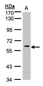 MAPK15 / ERK7 Antibody - Sample. A: 30g of HeLa S3 whole cell lysate. 7.5% SDS PAGE. MAPK15 antibody diluted at 1:1000