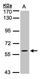 Sample (30 ug whole cell lysate). A: H1299. 7.5% SDS PAGE. MAPK4 / ERK4 antibody diluted at 1:1000