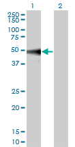 MAPK9 / JNK2 Antibody - Western blot of MAPK9 expression in transfected 293T cell line by MAPK9 monoclonal antibody.