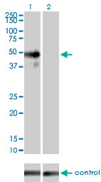 MAPK9 / JNK2 Antibody - Western blot of MAPK9 over-expressed 293 cell line, cotransfected with MAPK9 Validated Chimera RNAi (Lane 2) or non-transfected control (Lane 1). Blot probed with MAPK9 monoclonal antibody. GAPDH ( 36.1 kD ) used as specific.