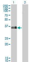 MARCKSL1 Antibody - Western blot of MARCKSL1 expression in transfected 293T cell line by MARCKSL1 monoclonal antibody.