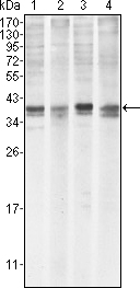 MCL1 / MCL 1 Antibody - Western blot using MCL1 mouse monoclonal antibody against HeLa (1), BCBL-1 (2), Jurkat (3) and HL60 (4) cell lysate.