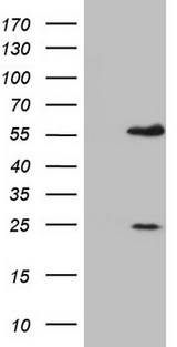 MNDA Antibody - HEK293T cells were transfected with the pCMV6-ENTRY control (Left lane) or pCMV6-ENTRY MNDA (Right lane) cDNA for 48 hrs and lysed. Equivalent amounts of cell lysates (5 ug per lane) were separated by SDS-PAGE and immunoblotted with anti-MNDA.