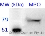 MPO / Myeloperoxidase Antibody - Rabbit antibody to MPO. 10 ug of neutrophil lysate was separated by 12% SDS-PAGE. Proteins were transferred onto a PVDF membrane and blocked by incubation with PBS containing 2% skim milk and 0.02% Tween 20 for 30 min. Membranes were probed with Rabbit antibody to MPO (3 ug/ml) for 1 hr. Membranes were then probed with goat anti-rabbit antibody conjugated to alkaline phosphatase diluted 1:1000 and developed with ECF luminescence substrate (Amersham Biosciences).