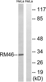 Western blot analysis of lysates from HeLa cells, using MRPL46 Antibody. The lane on the right is blocked with the synthesized peptide.