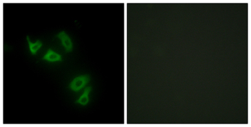 Immunofluorescence analysis of HepG2 cells, using MUC13 Antibody. The picture on the right is blocked with the synthesized peptide.