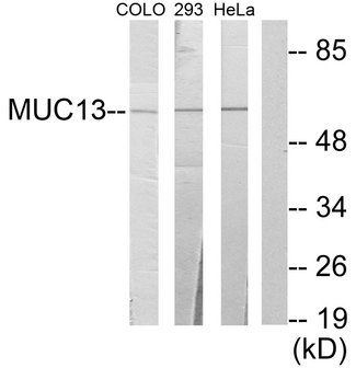 Western blot analysis of lysates from 293, HeLa, and COLO205 cells, using MUC13 Antibody. The lane on the right is blocked with the synthesized peptide.