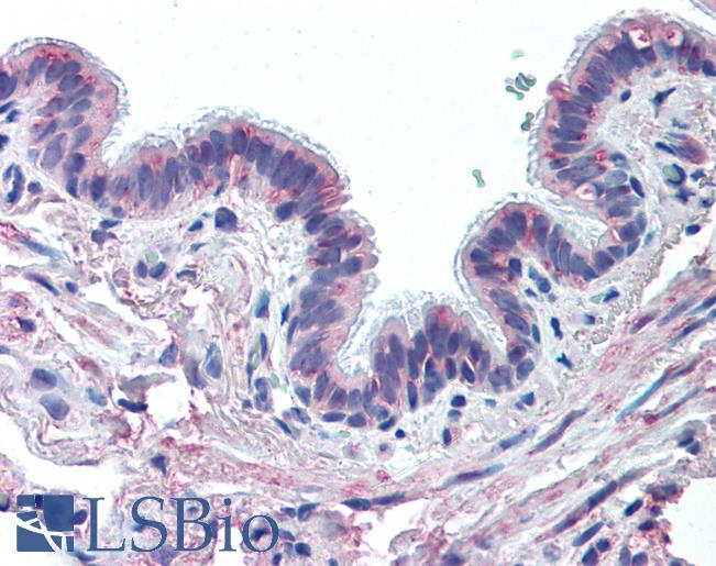 Anti-MUC13 antibody IHC of human lung, respiratory epithelium. Immunohistochemistry of formalin-fixed, paraffin-embedded tissue after heat-induced antigen retrieval.