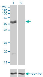 MYOC / Myocilin Antibody - Western blot of MYOC over-expressed 293 cell line, cotransfected with MYOC Validated Chimera RNAi (Lane 2) or non-transfected control (Lane 1). Blot probed with MYOC monoclonal antibody clone 4F8. GAPDH ( 36.1 kD ) used as specificity and.