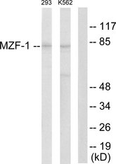 Western blot analysis of lysates from 293 and K562 cells, using MZF-1 Antibody. The lane on the right is blocked with the synthesized peptide.