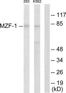 MZF / MZF1 Antibody - Western blot analysis of lysates from 293 and K562 cells, using MZF-1 Antibody. The lane on the right is blocked with the synthesized peptide.