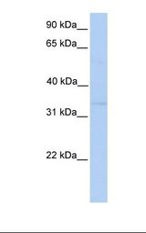 NDE1 Antibody - HepG2 cell lysate. Antibody concentration: 1.0 ug/ml. Gel concentration: 12%.  This image was taken for the unconjugated form of this product. Other forms have not been tested.