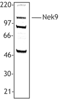 Hela cell extract was resolved by electrophoresis, transferred to nitrocellulose and probed with rabbit anti-NEK9 polyclonal antibody. Proteins were visualized using a donkey anti-rabbit secondary conjugated to HRP and a chemiluminescence detection system.