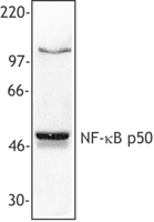NFKB1 / NF-Kappa-B Antibody - MOLT4 cell extract was resolved by electrophoresis, transferred to nitrocellulose, and probed with mouse anti-NF-kappaB p50 antibody (clone 4D1). Proteins were visualized using a goat anti-mouse secondary conjugated to HRP and a chemiluminescence detection system.