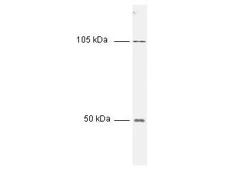 NFKB1 / NF-Kappa-B Antibody - Anti-NFKB p50 (NFKB1) Antibody - Western Blot. All incubations except color development were performed using TBS supplemented with 0.1% Tween-20 at room temperature. The membrane was blocked in 5% dry milk for 2 h. After washing, a:1:1000 dilution of the primary antibody was added to the membrane and incubated for 2 h. Washes with buffer were performed 4 times for 5 each. The western blot was incubated with secondary antibody (HRP Goat-a-Rabbit IgG [H&L]) diluted 1:2000 for 1 h. Washes with TBS preceded color development.