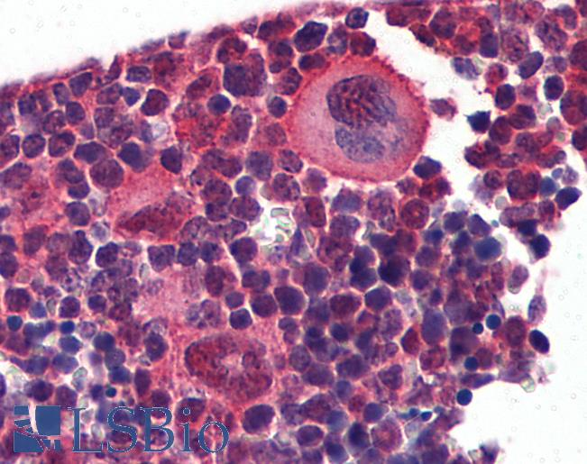 Anti-NKX2-3 antibody IHC of mouse lymphoid tissue. Immunohistochemistry of formalin-fixed, paraffin-embedded tissue after heat-induced antigen retrieval. Antibody concentration 5 ug/ml.  This image was taken for the unconjugated form of this product. Other forms have not been tested.
