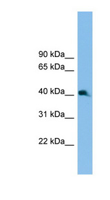 NKX2-3 antibody Western blot of Mouse Uterus lysate. This image was taken for the unconjugated form of this product. Other forms have not been tested.