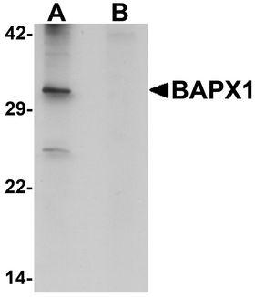 NKX3-2 / BAPX1 Antibody - Western blot analysis of BAPX1 in human brain tissue lysate with BAPX1 antibody at 1 ug/ml in (A) the absence and (B) the presence of blocking peptide.
