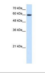 HepG2 cell lysate. Anti-Nor-1 / NR4A3 Antibody concentration: 0.25 ug/ml. Gel concentration: 12%.  This image was taken for the unconjugated form of this product. Other forms have not been tested.