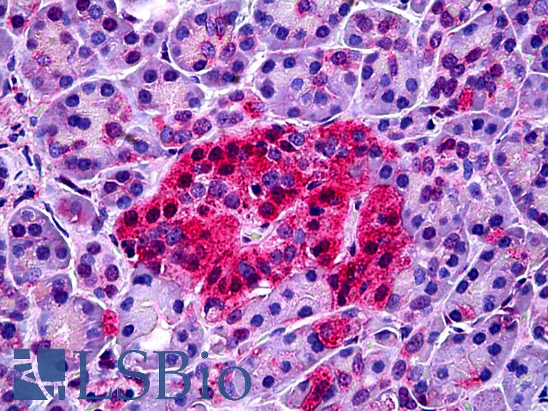 Anti-NTSR1 antibody IHC of human pancreas. Immunohistochemistry of formalin-fixed, paraffin-embedded tissue after heat-induced antigen retrieval. Antibody dilution 1:200.