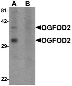 OGFOD2 Antibody - Western blot analysis of OGFOD2 in 293 cell lysate with OGFOD2 antibody at 1 ug/ml in (A) the absence and (B) the presence of blocking peptide.