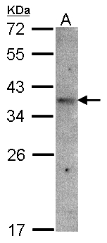 OR51E1 Antibody - Sample(30 g of whole cell lysate). A: Raji. 12% SDS PAGE. OR51E1 antibody diluted at 1:1500.